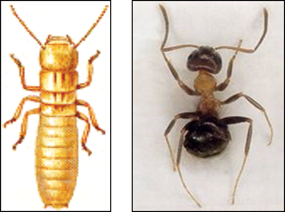 Termiti o formiche scopri come saperle riconoscere - Formiche in casa perche ...