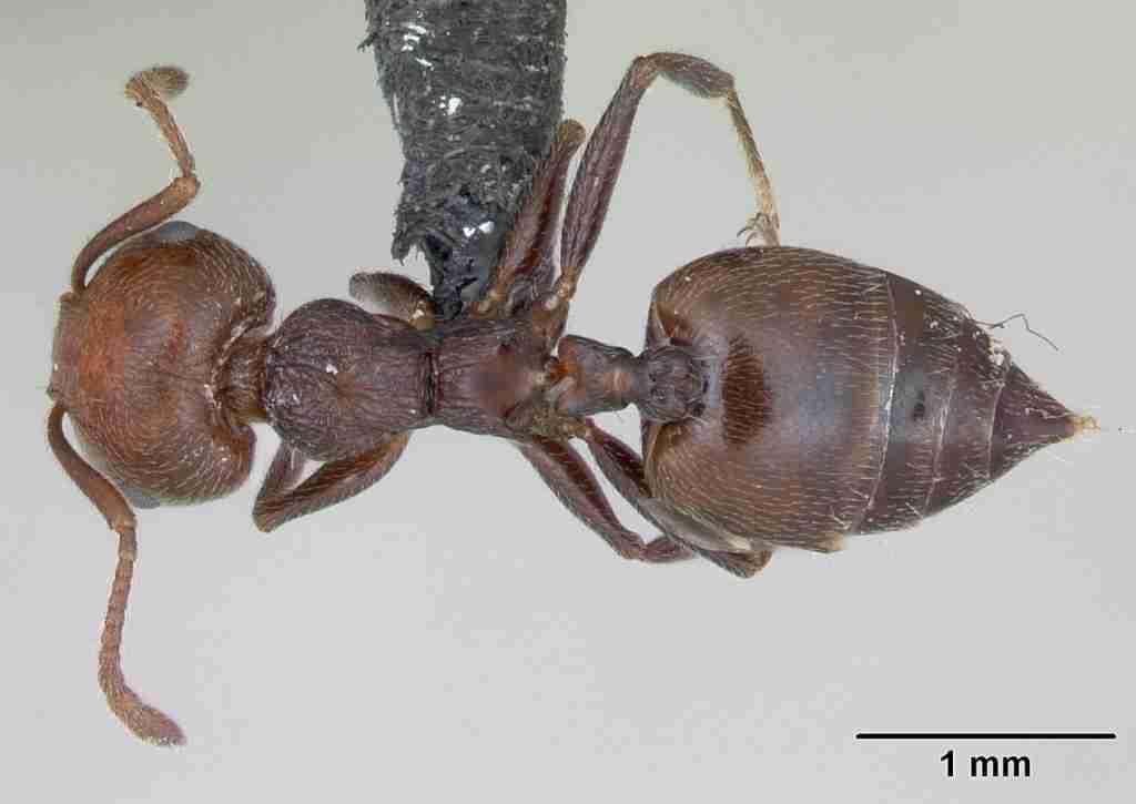 formiche del legno