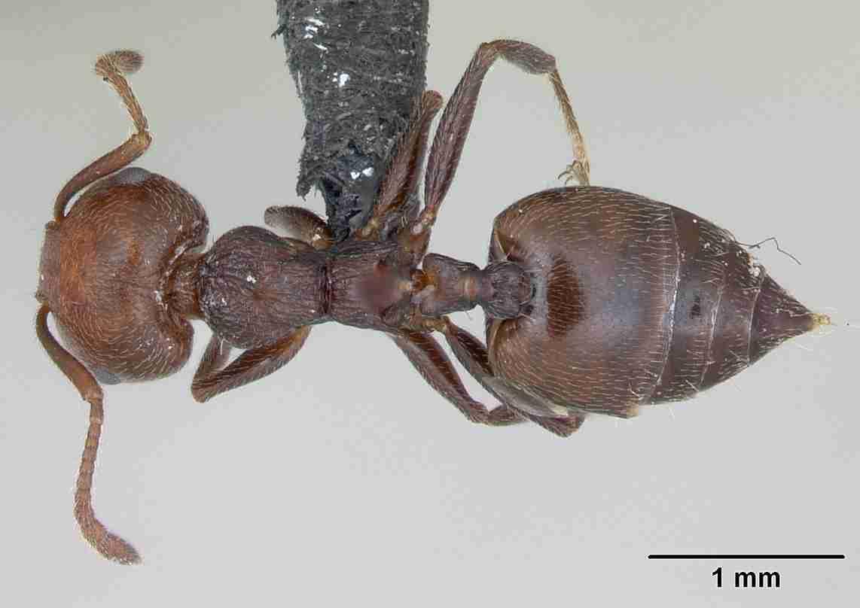 Formiche Del Legno Un Temibile Insetto Infestante Del Legno